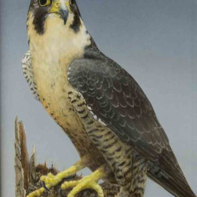 Peregrine Falcon painting by Valerie Rogers.