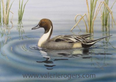 Northern Pintail 12×16″ $425 CAD SOLD