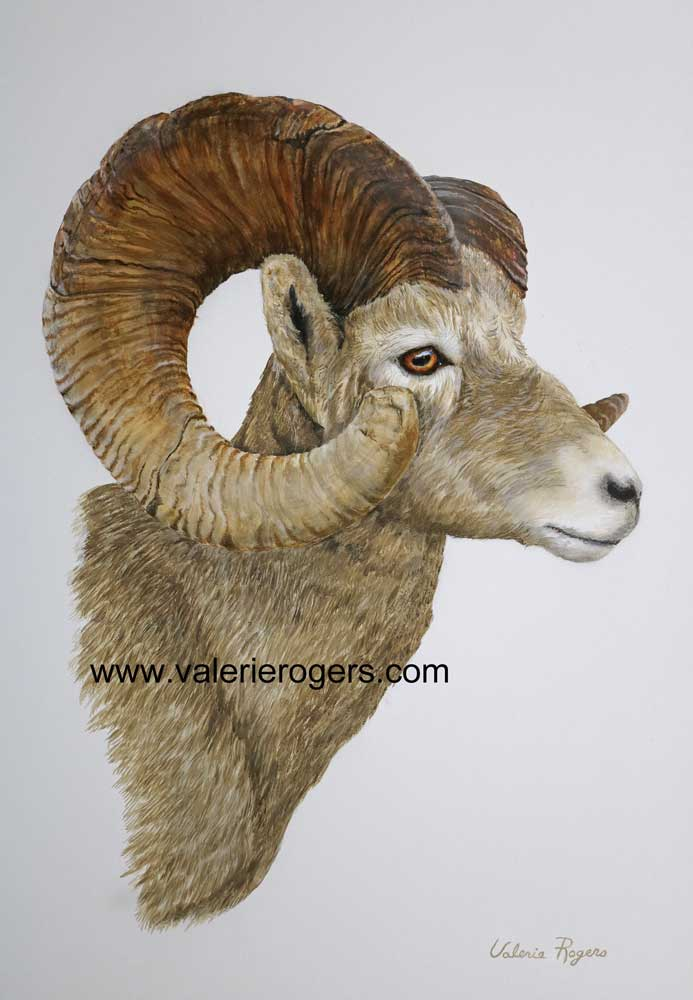 Painting by Valerie Rogers of Big Horn Sheep