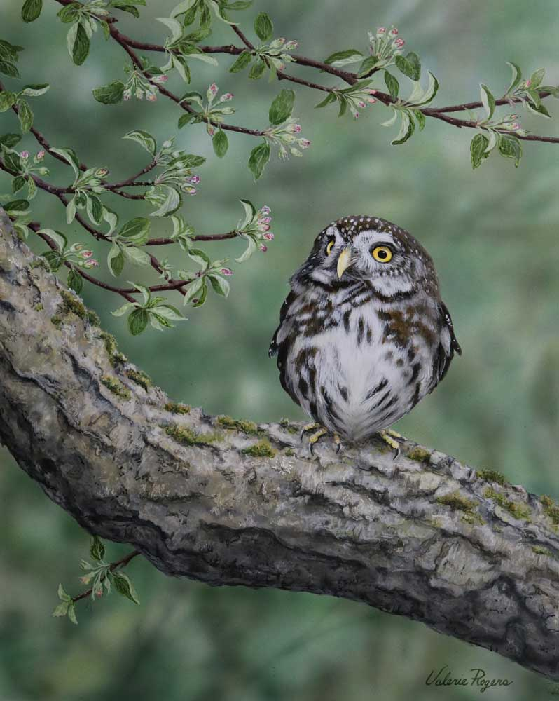 Acrylic painting by Valerie Rogers of Pygmy Owl
